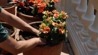 Decorar terraza con begonias y alegrías - Plantar begonia elatior