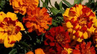 Decorar terraza con begonias y alegrías - Plantar tagete