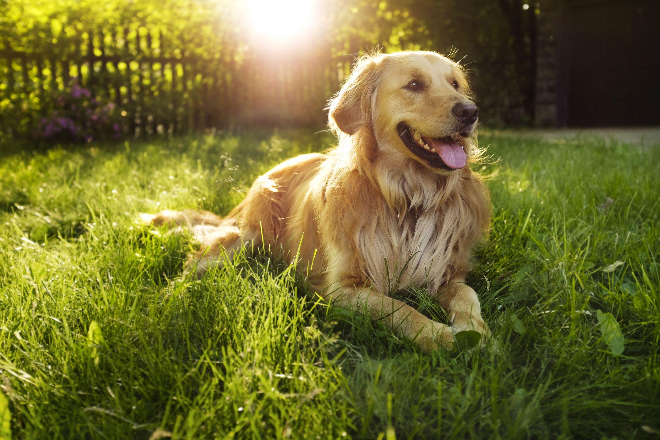 Perro labrador dorado