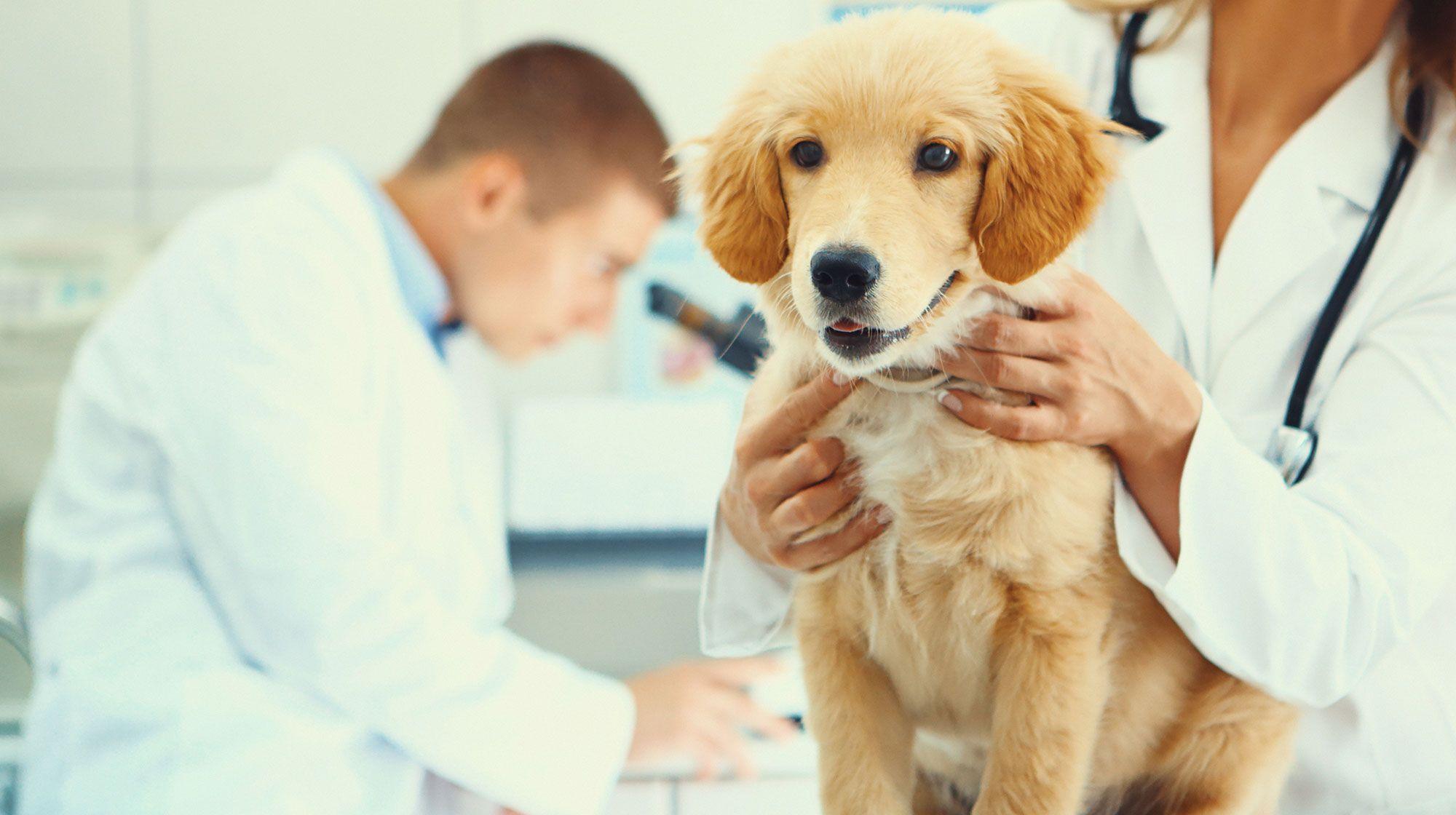 castración perras