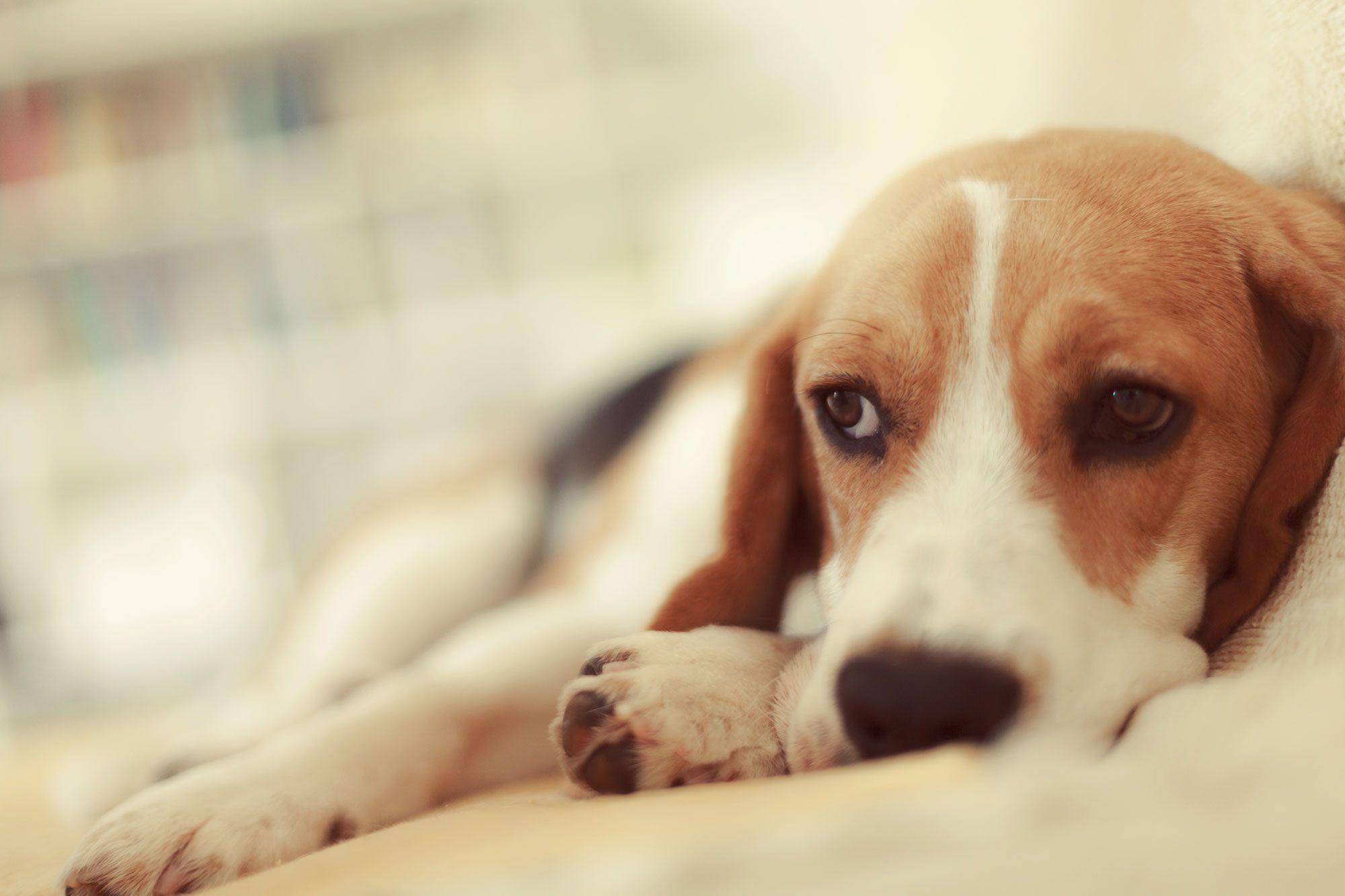 depresión perro