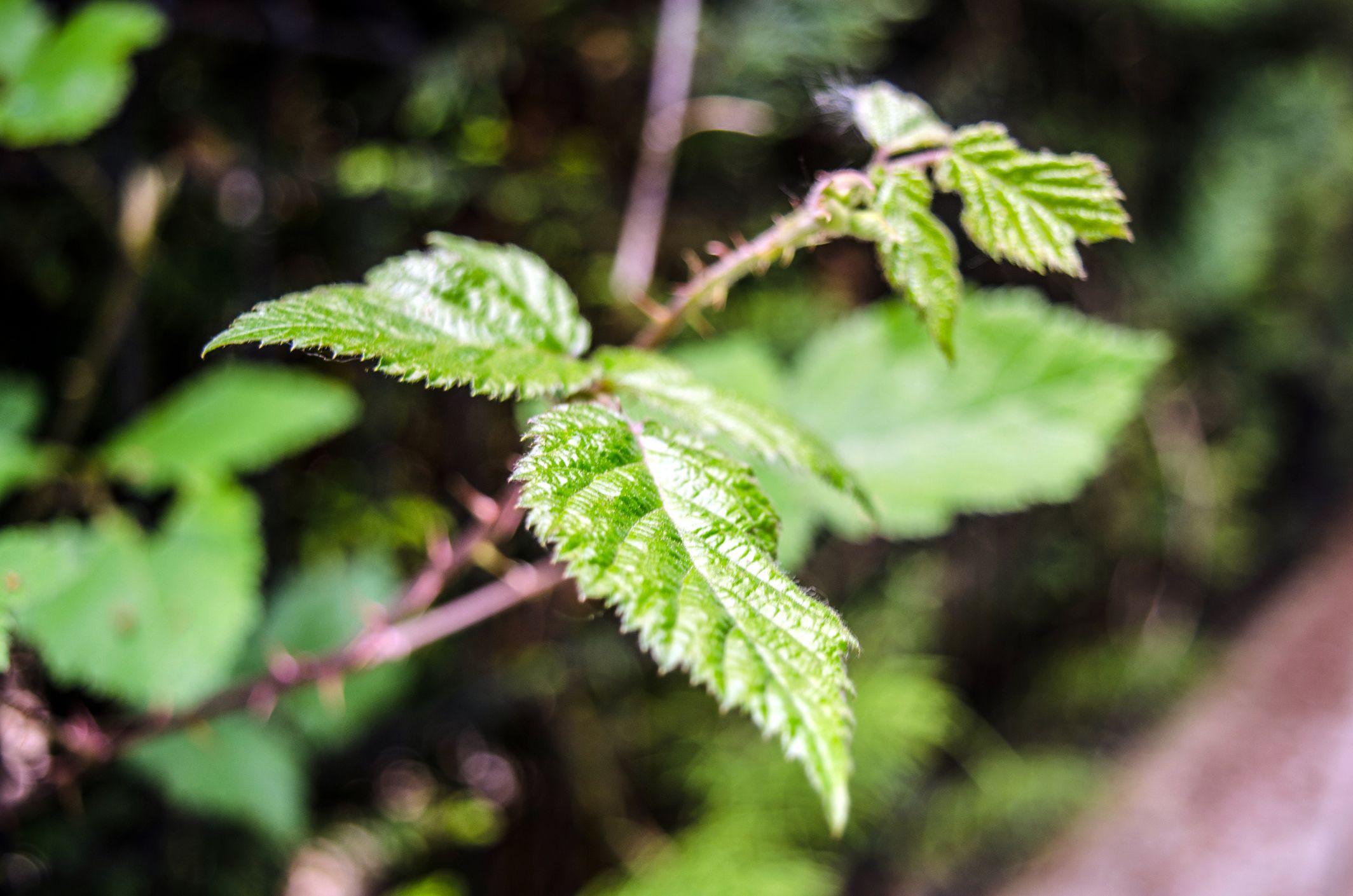 Ortiga, planta medicinal