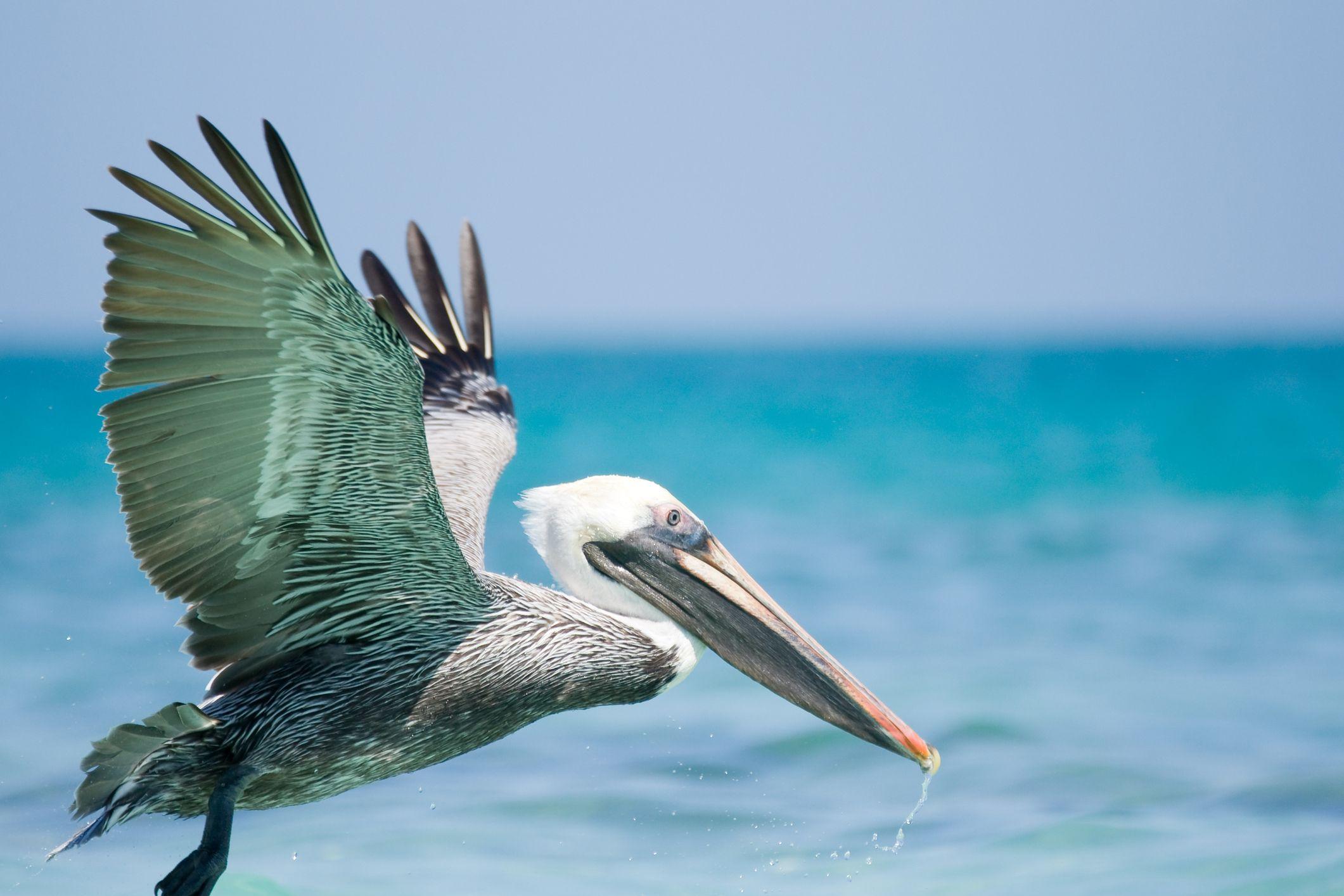 Pel canos hogarmania - Fotos de pelicanos ...