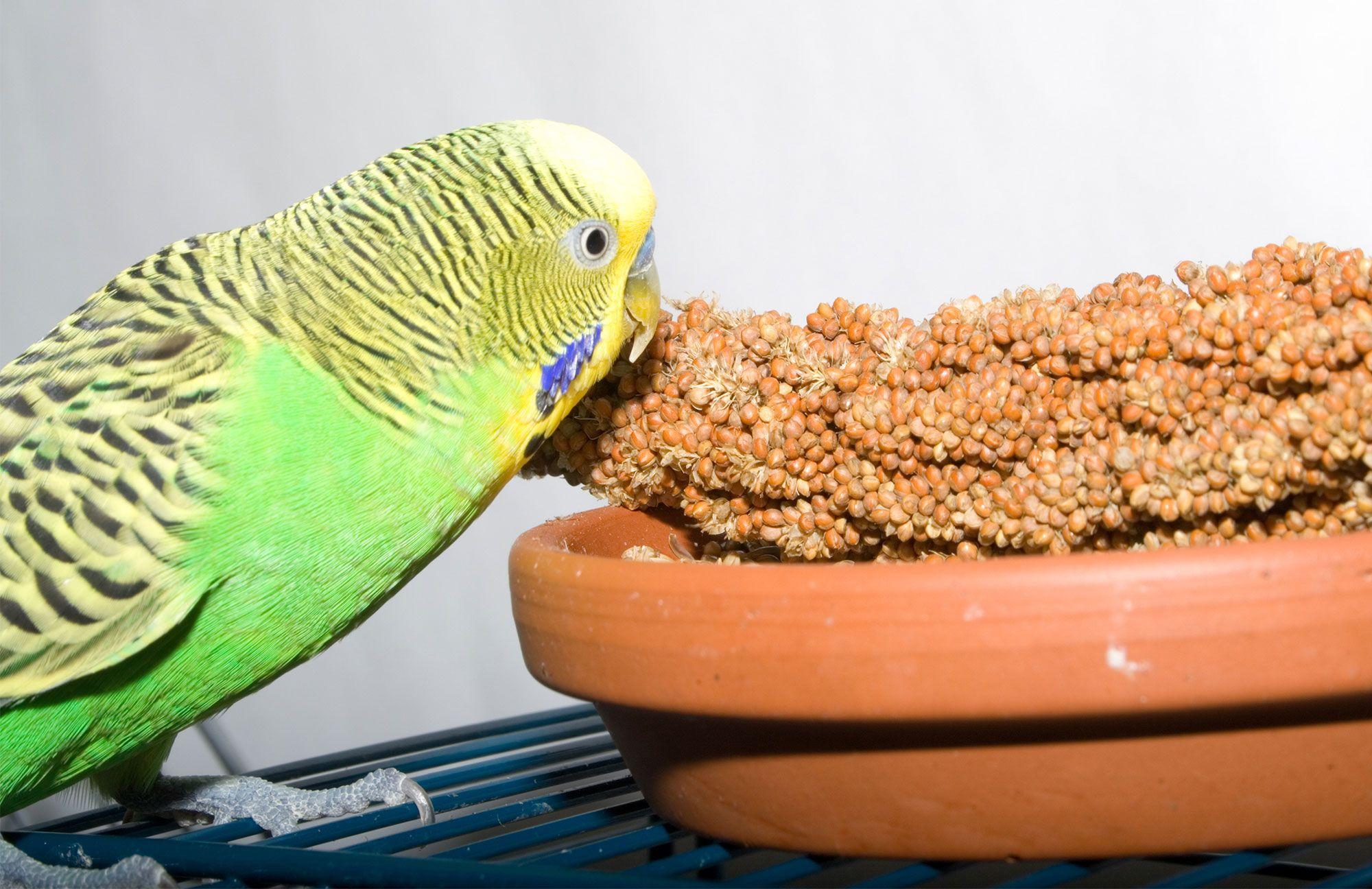 periquito australiano alimentación