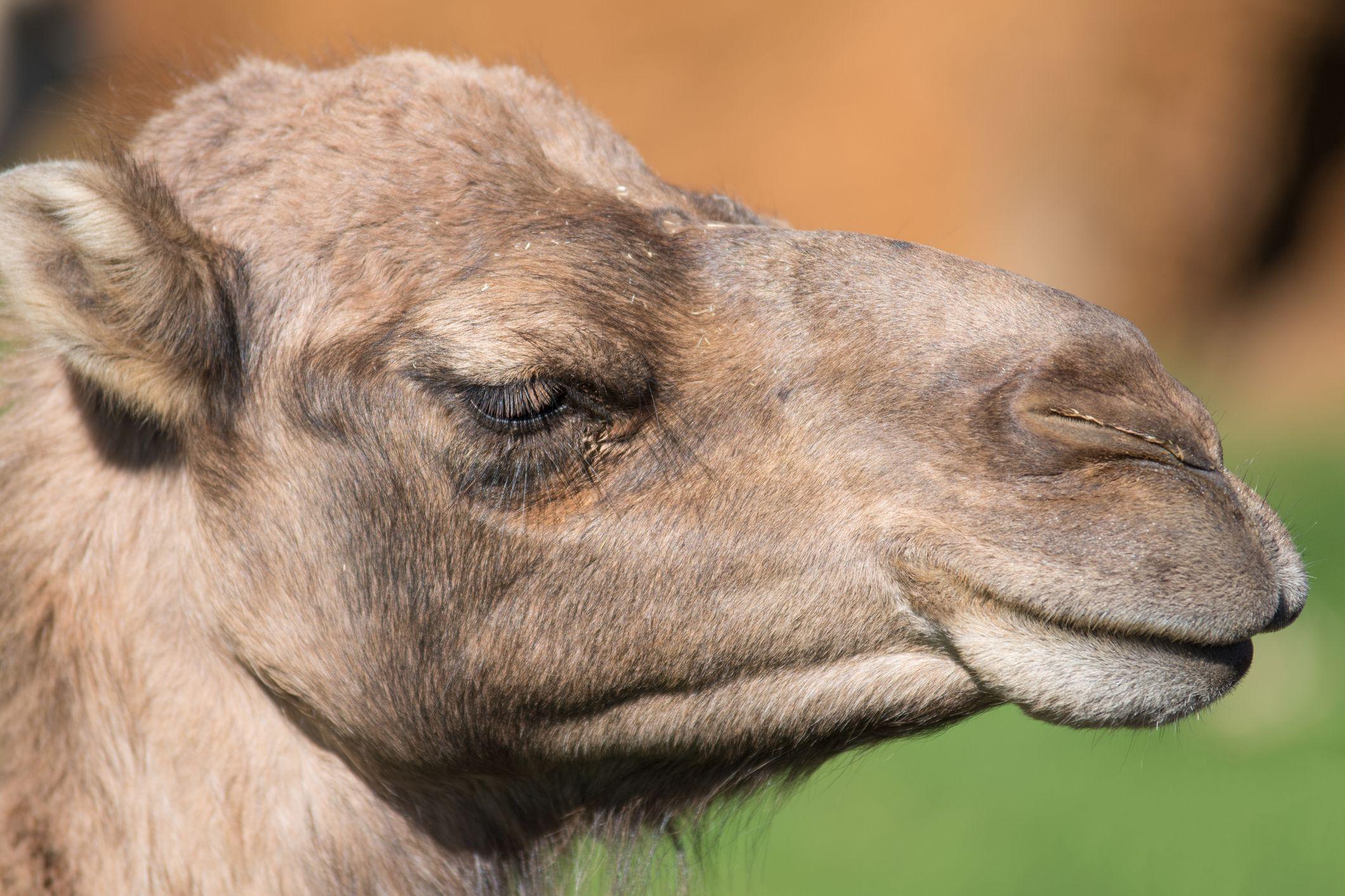 pestañas camellos