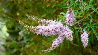 10 plantas medicinales para la salud de la mujer - Sauzgatillo