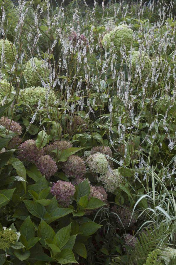 Espigas de la gramínea Deschampsia cespitosa 'Goldtau'