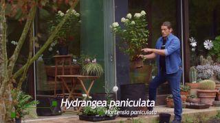 Hortensia paniculata (Hydrangea paniculata)