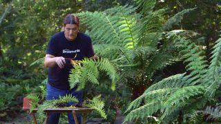Reproducción del helecho arbóreo dicksonia antarctica  - Matas