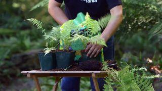 Reproducción del helecho arbóreo dicksonia antarctica  - Plantación