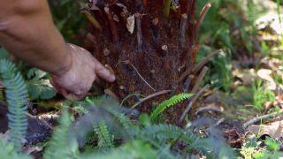 Reproducción del helecho arbóreo dicksonia antarctica  - Raíces
