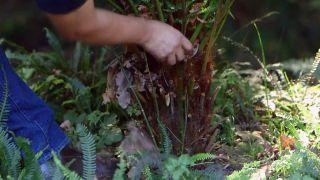Reproducción del helecho arbóreo dicksonia antarctica  - Tronco