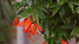 Begonia Luxurians - Begonia pendula