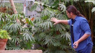 Begonia Luxurians - Detalle