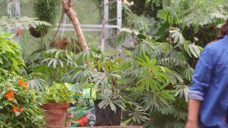 Begonia Luxurians - Enfermedades