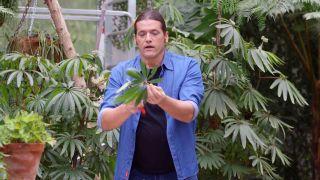 Begonia Luxurians - Reproducción hoja