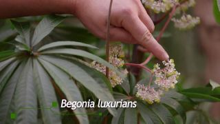 Begonia Luxurians - Flor