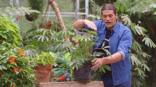 Begonia Luxurians - Plantación