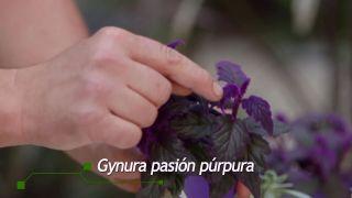 Cesto colgante con suculentas - Gynura pasión púrpura