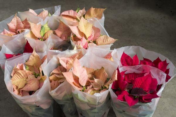 Consejos a la hora de comprar una poinsettia o Flor de Pascua - Cómo transportarla