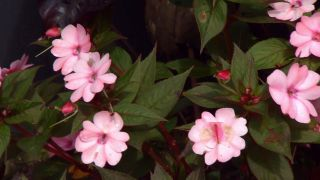 Parterre floral en tonos rosas y negros con alegrías guineanas y alocasias - alegrías guineanas impatiens