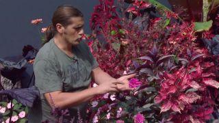 Parterre floral en tonos rosas y negros con alegrías guineanas y alocasias - Dalia