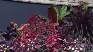 Parterre floral en tonos rosas y negros con alegrías guineanas y alocasias - Ensete