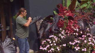 Parterre floral en tonos rosas y negros con alegrías guineanas y alocasias - Inicio