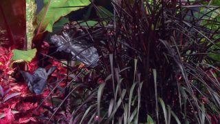 Parterre floral en tonos rosas y negros con alegrías guineanas y alocasias - Penisetum