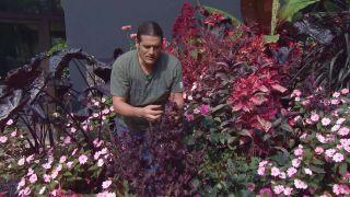 Parterre floral en tonos rosas y negros con alegrías guineanas y alocasias - Shiso o perilla