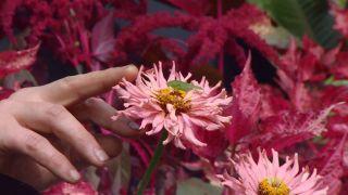 Parterre floral en tonos rosas y negros con alegrías guineanas y alocasias - Zinnia