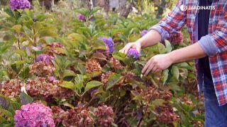 Cómo conseguir que las hortensias den flores hasta el otoño - Cupón con flor