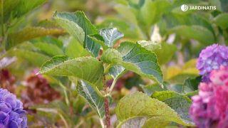 Cómo conseguir que las hortensias den flores hasta el otoño - Cupón sin flor