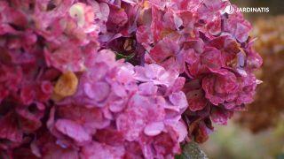 Cómo conseguir que las hortensias den flores hasta el otoño - Detalle