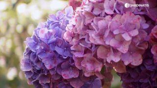 Cómo conseguir que las hortensias den flores hasta el otoño - Detalle final