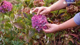 Cómo conseguir que las hortensias den flores hasta el otoño - Floración tardia