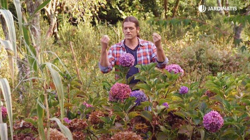 C mo conseguir que las hortensias den flores hasta el - Hortensias cuidados poda ...