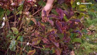 Cómo conseguir que las hortensias den flores hasta el otoño - Ramas viejas