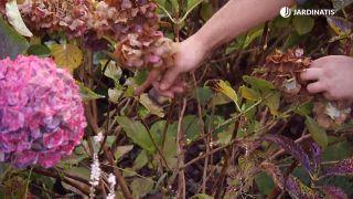 Cómo conseguir que las hortensias den flores hasta el otoño - Ramas laterales