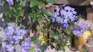 Composición de otoño en tonos azules con plumbago capensis - Detalle Final