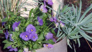 Composición de otoño en tonos azules con plumbago capensis - Detalle violas