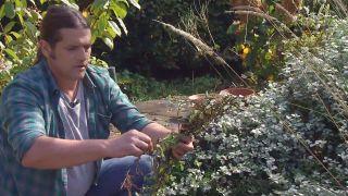 Reproducción del helichrysum - Brotes