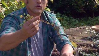 Reproducción del helichrysum - Raíces