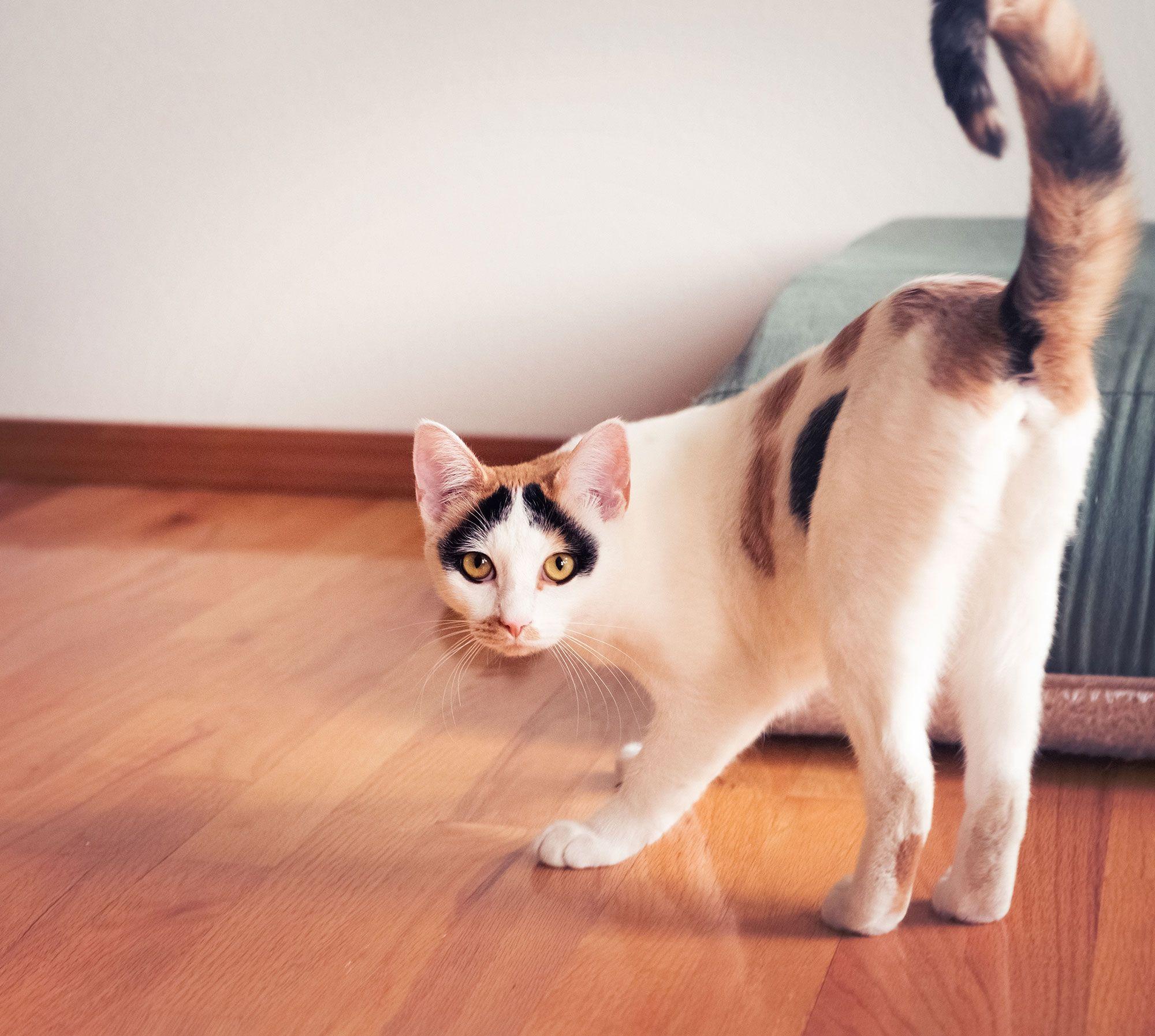 movimiento cola gatos
