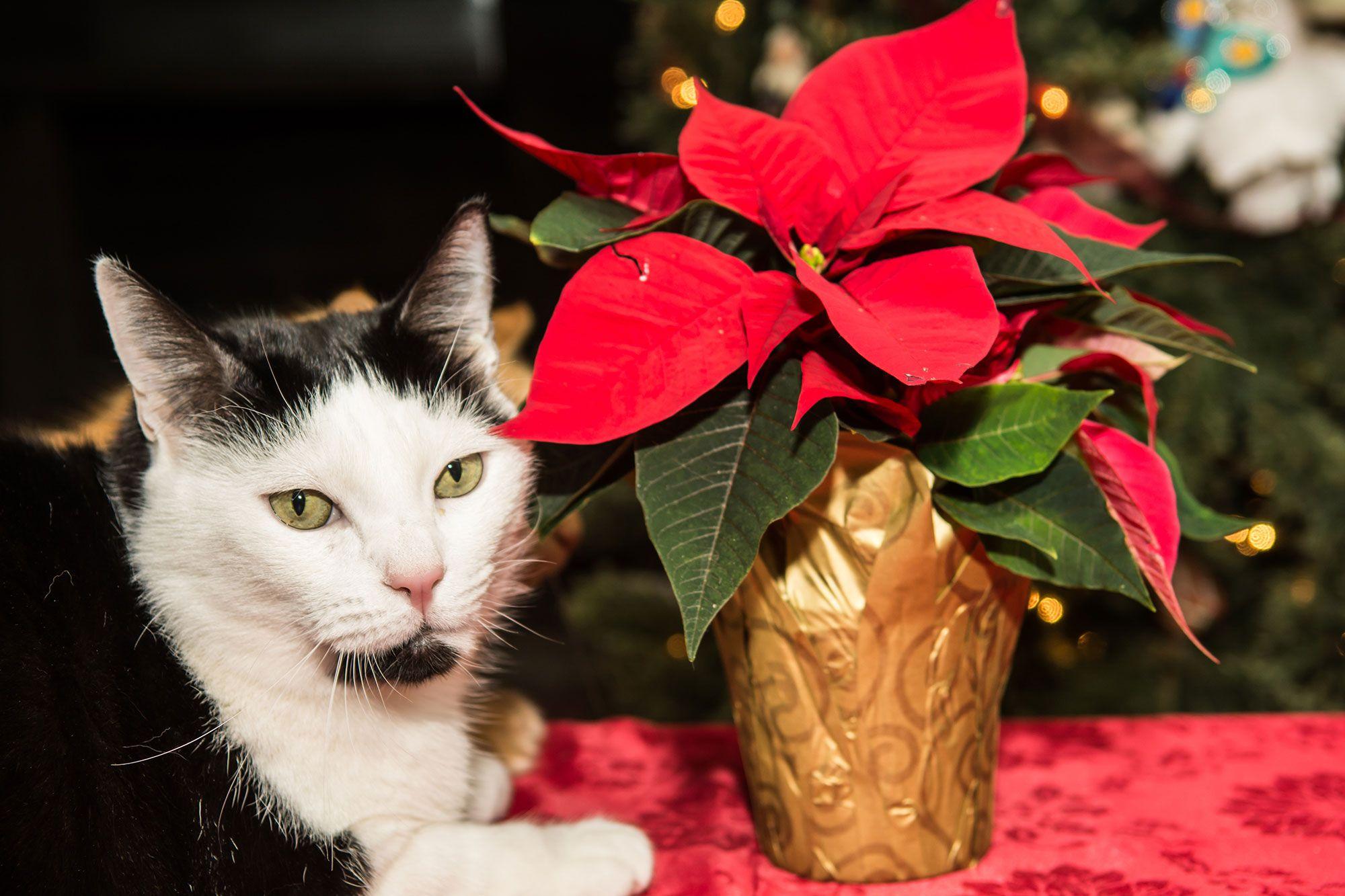 mascotas navidad plantas tóxicas