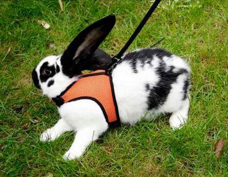 arnés conejo