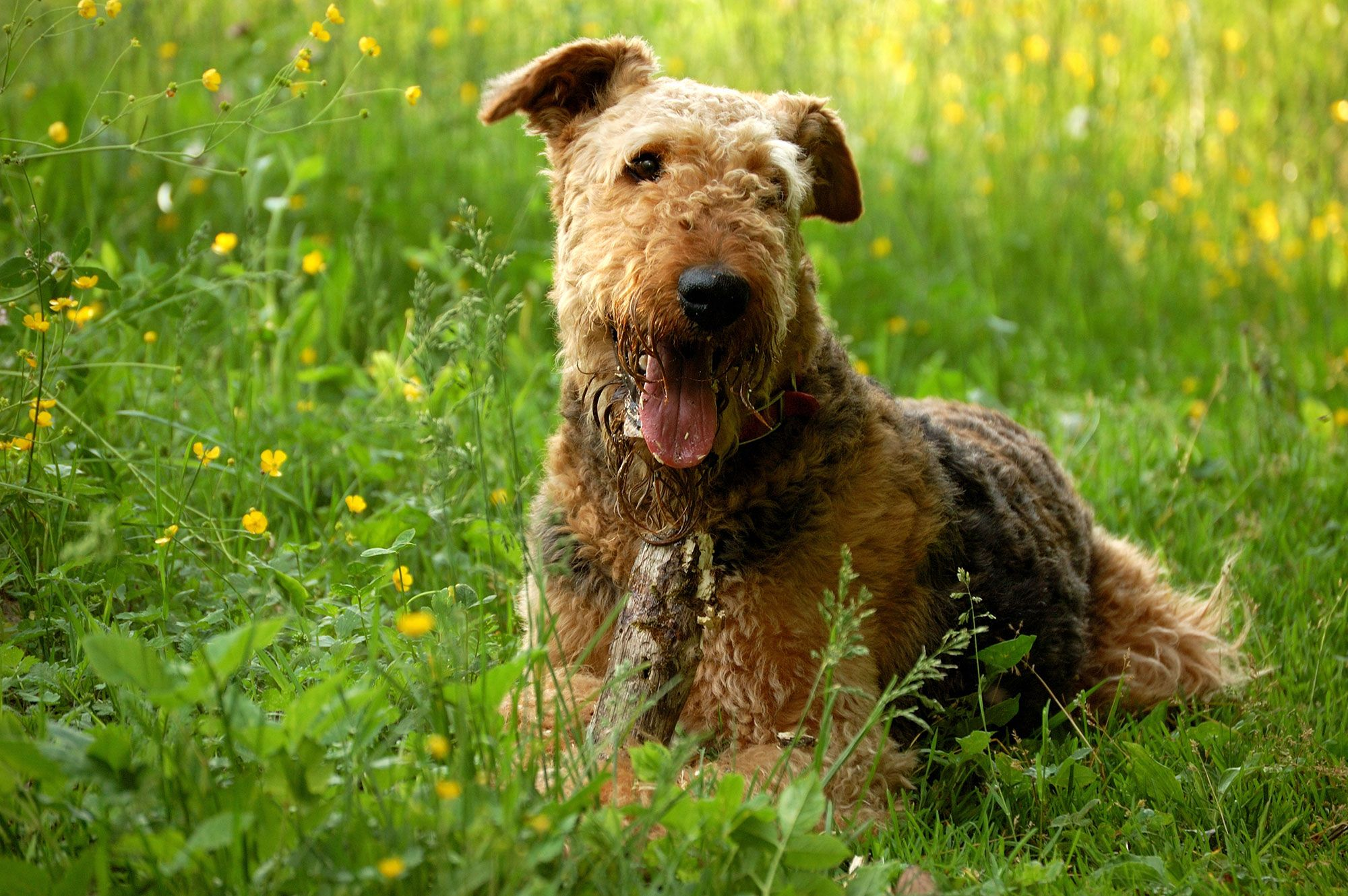 perro inglés airedale