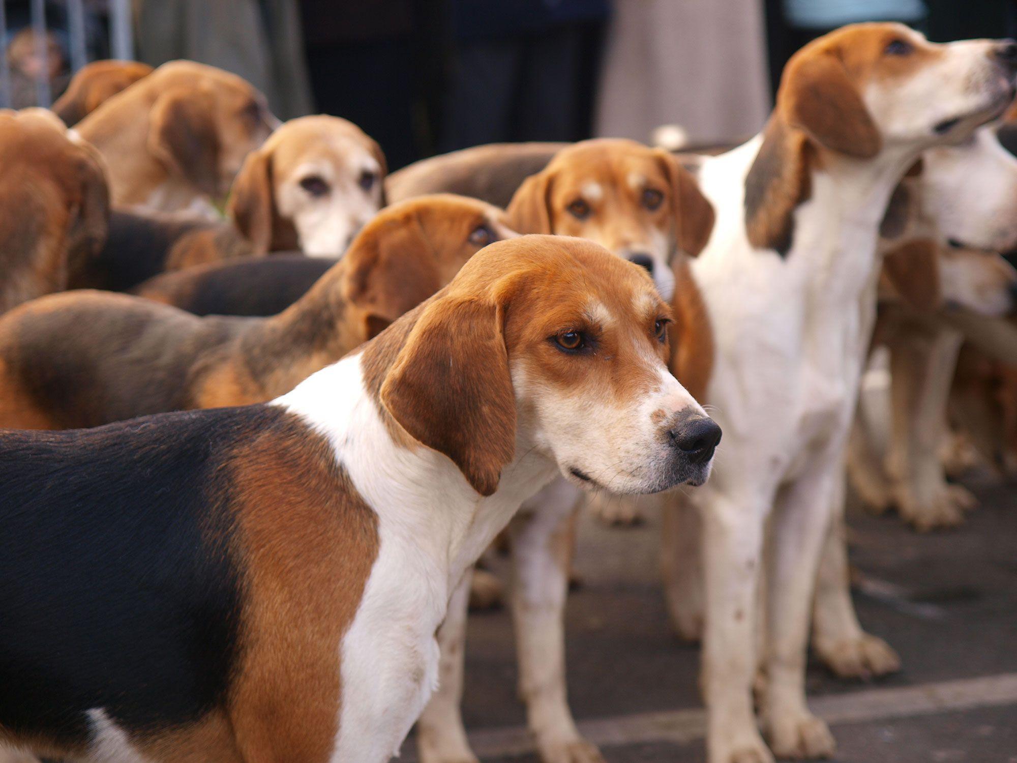 perro inglés foxhound