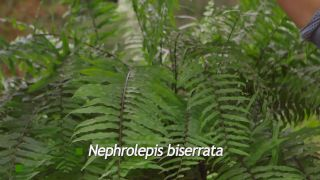 Nephrolepis biserrata
