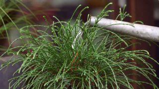 Thuya plicata whipcord - Características